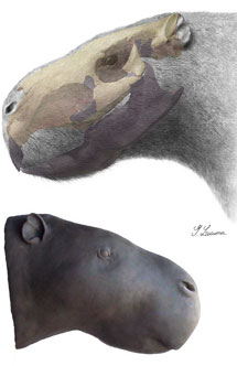 Josephoartigasia monesi. Изображение Royal Society/reconstruction (drawing and sculpture) by Gustavo Lecuona с сайта news.nationalgeographic.com