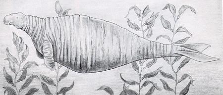 Морская корова стеллера steller's sea cow